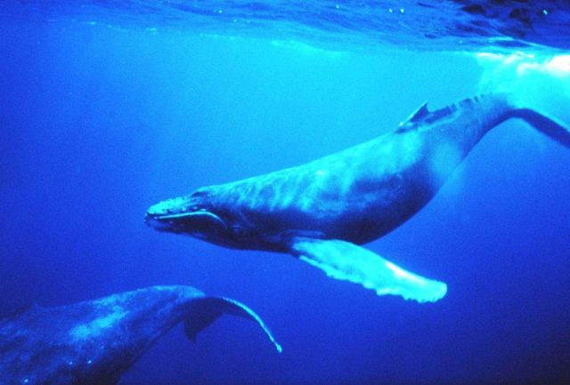 Humpback whales in the singing position Picture
