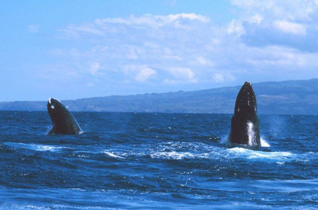 Humpback whale spy-hopping Picture