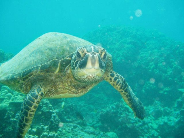 A green sea turtle swimming toward the photographer. Picture