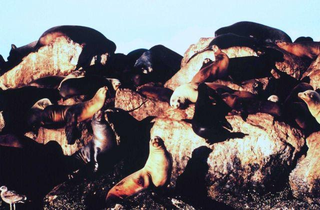 California Sea Lions on a rocky shore. Picture