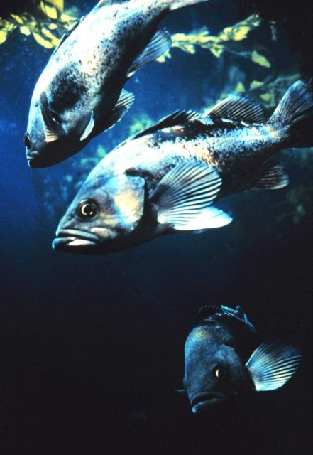 Black Rockfish Picture