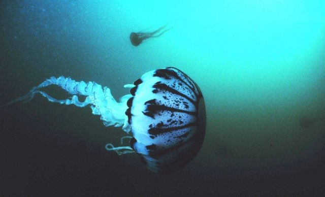 A purple striped jellyfish -- Pelagia panopyra - possesses very potent stingers Picture