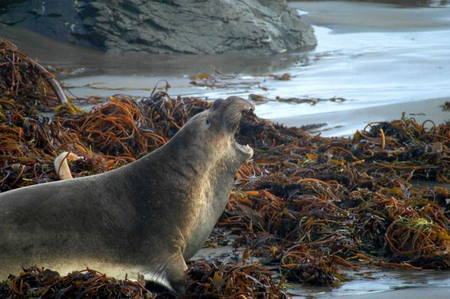 Northern elephant seal (Mirounga angustirostis) Picture