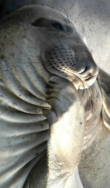 Northern elephant seal (Mirounga angustirostis) Picture