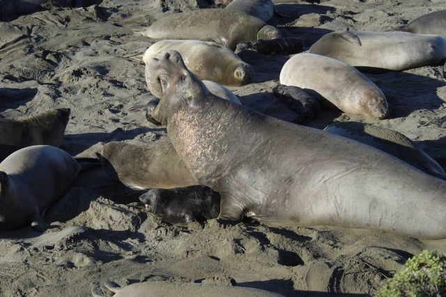 Northern elephant seal at San Simeon. Picture
