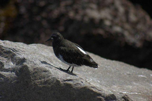 Black turnstone Picture