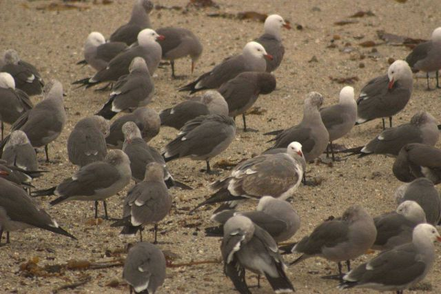 Heermanns gull Picture