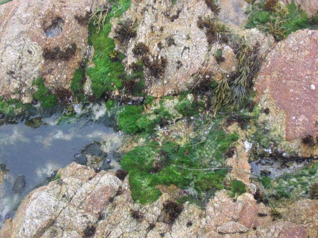 Bright green algae and at least two species of seaweed attached to rocks at the limit of hight tide and spray. Picture
