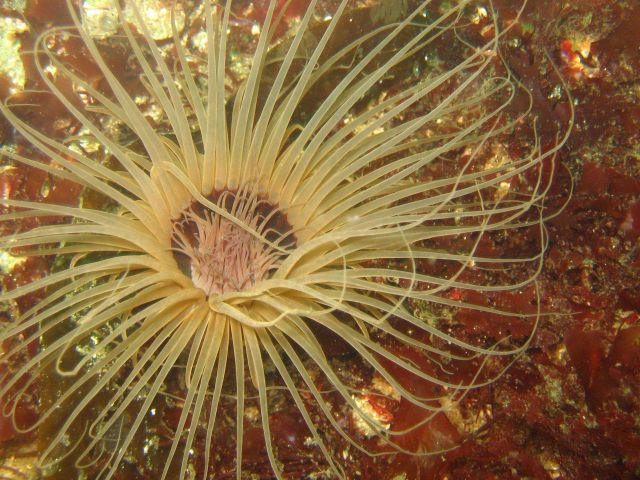 A large cerianthid anemone. Picture