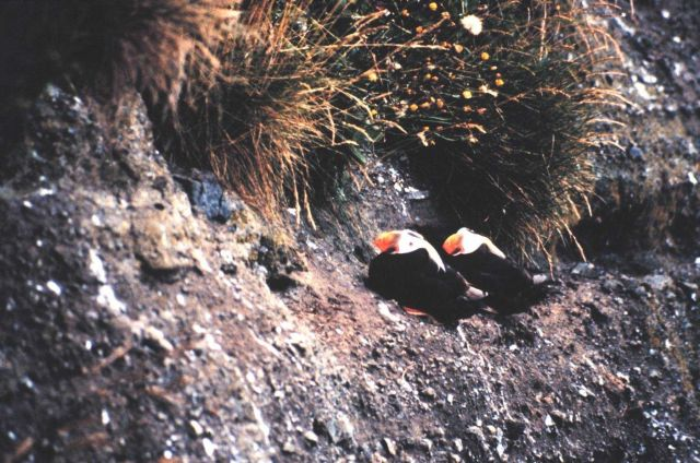A pair of Tufted Puffins on a cliff Picture