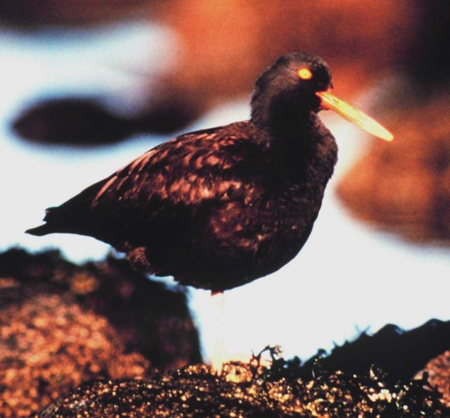A Black Oystercatcher. Picture