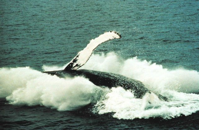 A humpback whale breaching Picture