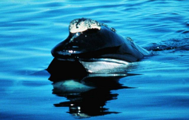 A Northern Right Whale on the surface Picture
