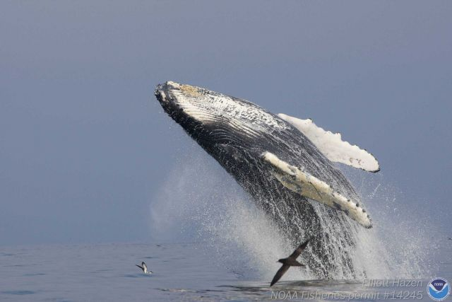 A soaring humpback whale at the beginning of its breach. Picture
