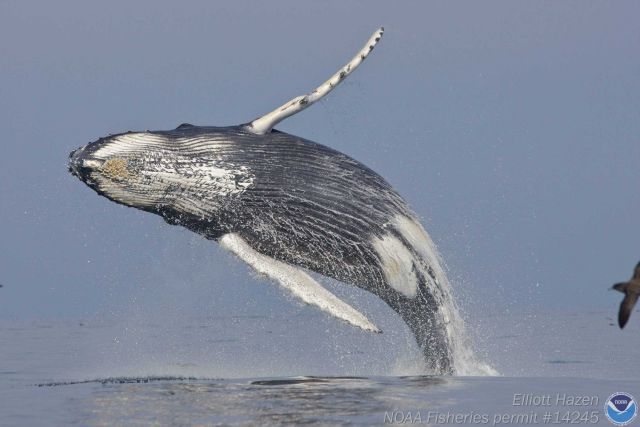 A humpback whale in a graceful arc as it begins its descent to the sea from a near vertical breach. Picture