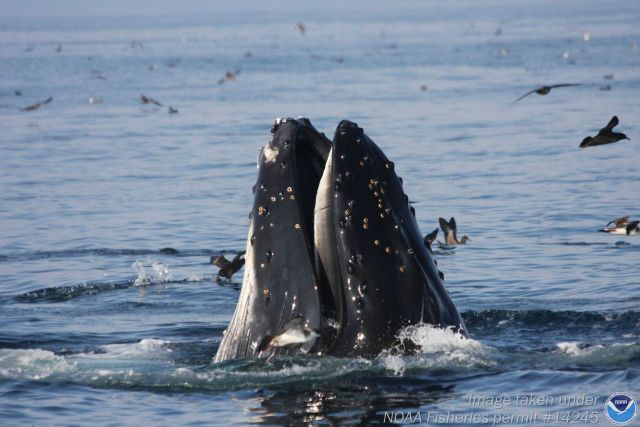 Humpback whale and Shore Birds Picture