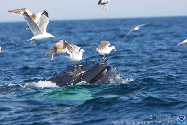 Seagulls landing on mouth of Humpback whale. Picture