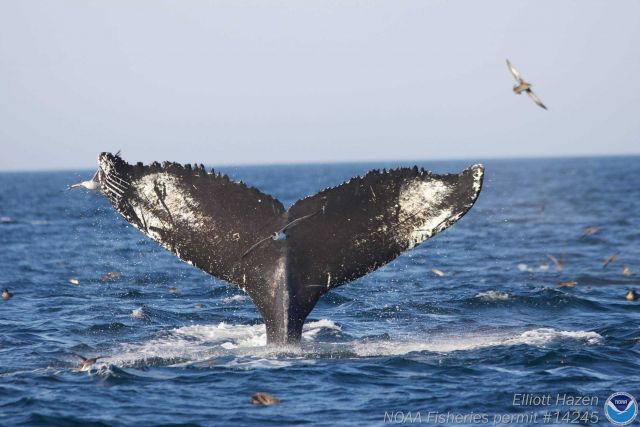 Humpback whale and Seagulls Picture