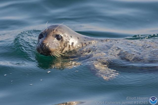Seal in water Picture