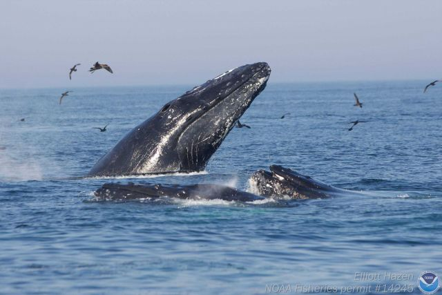 Humpback whale and sea birds Picture