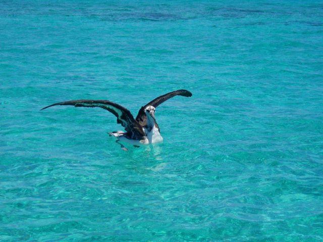 Juvenile albatross in the lagoon. Picture