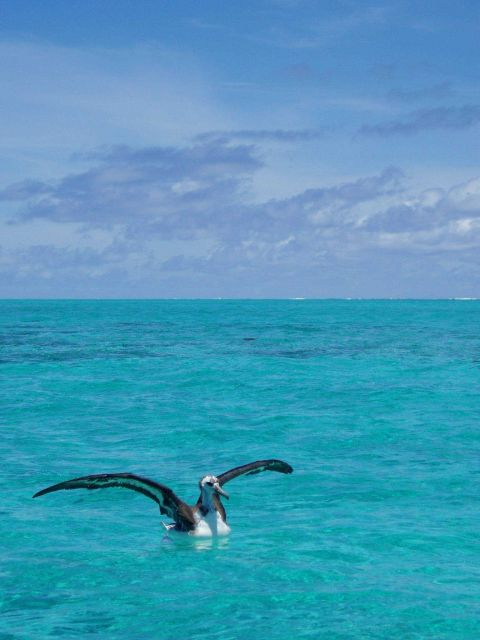 Juvenile albatross in the lagoon. Picture