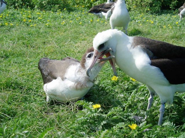 Mealtime for an albatross chick. Picture
