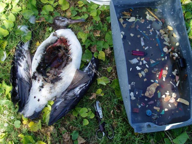 Post-mortem examination of dead Laysan Albatross showing the huge amount of ingested plastic which caused death. Picture