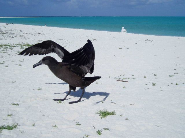 Black-footed Albatross on the beach. Picture