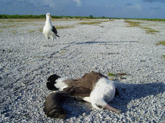 A dead albatross on an old runway. Picture