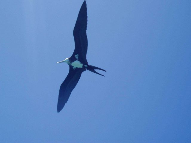 Iwa bird (frigate bird) soaring on the tradewinds. Picture