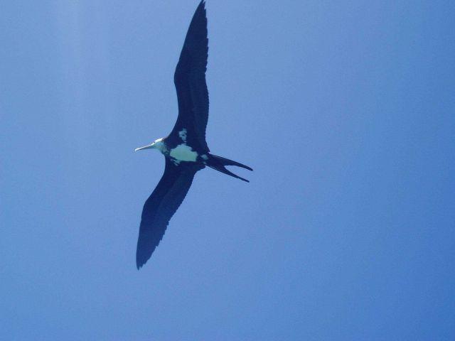 Iwa bird (frigate bird) soaring on the tradewinds. Picture