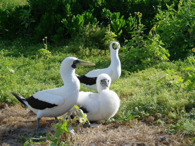 A masked booby family with snow-white chick. Picture
