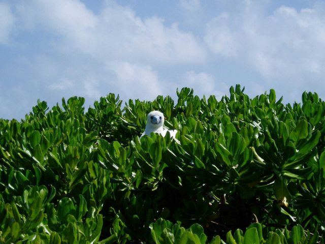 A red-footed booby peering over the bushes from its perch. Picture