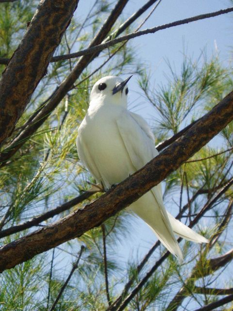 A fairy tern. Picture