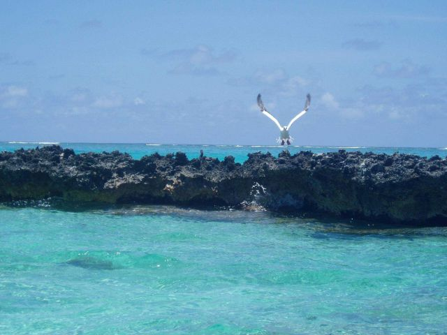 A red-footed booby taking off from a coral islet. Picture