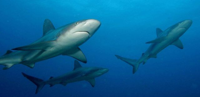 Gray reef sharks Picture