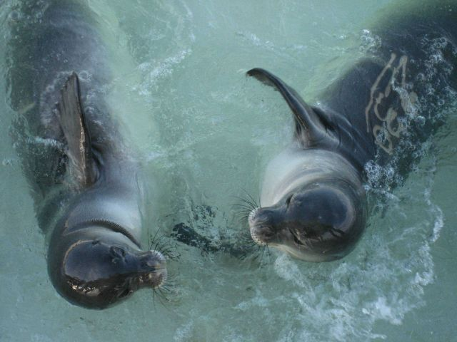 Monk seals Picture