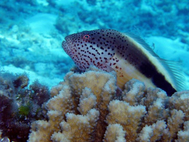A blackside hawkfish (Paracirrhites forsteri). Picture
