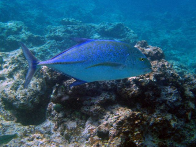 Bluefin trevally (Caranx melampygus). Picture