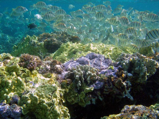 Convict tang, known in Hawaii as manini, (Acanthurus triostegus) and rice coral (Montipora flabellata). Picture