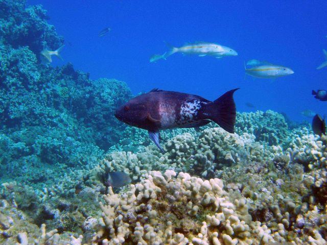 Hawaiian hogfish (Bodianus bilunulatus) in its terminal phase. Picture