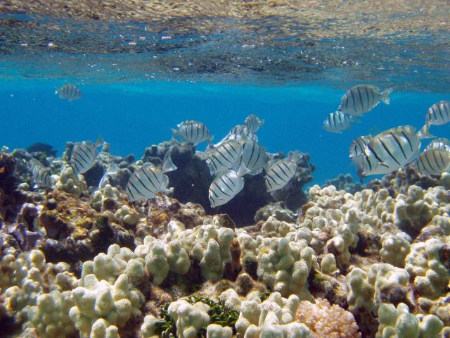 Manini or convict tangs amongst finger coral in shallow water. Picture