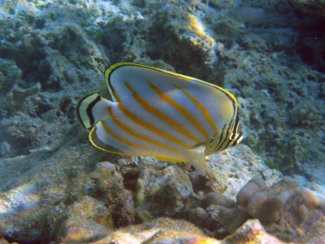 Ornate butterflyfish (Chaetodon ornatissimus). Picture