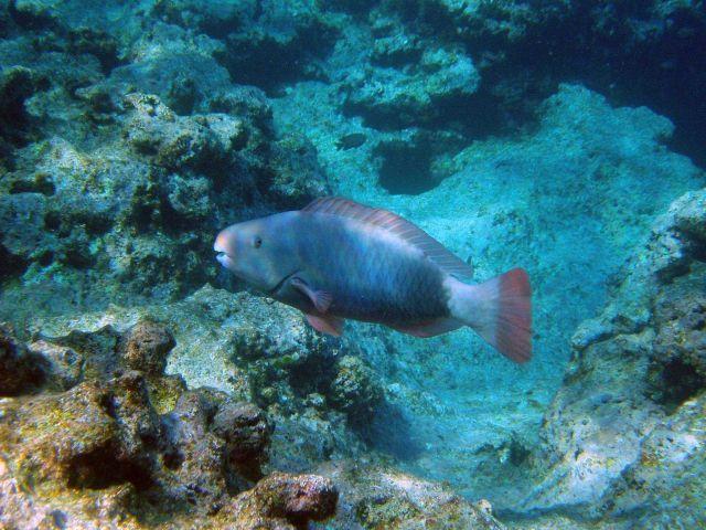 Uhu or parrotfish ( Scarus perspicillatus). Picture
