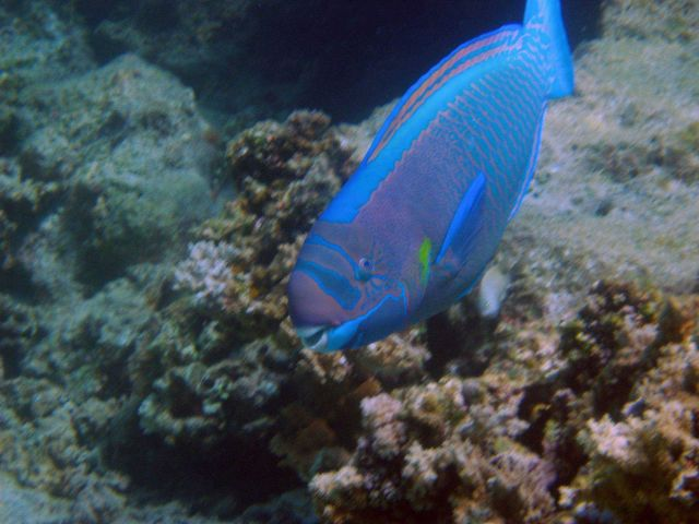 A spectacled parrotfish (Chlorurus perspicillatus). Picture
