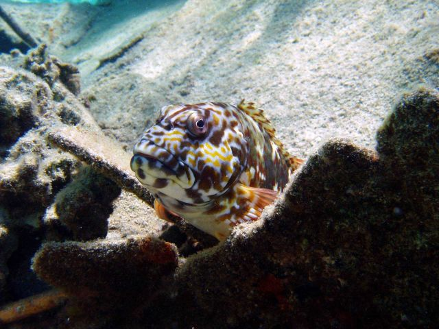 Stocky hawkfish Picture