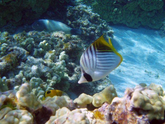 Threadfin butterflyfish Picture