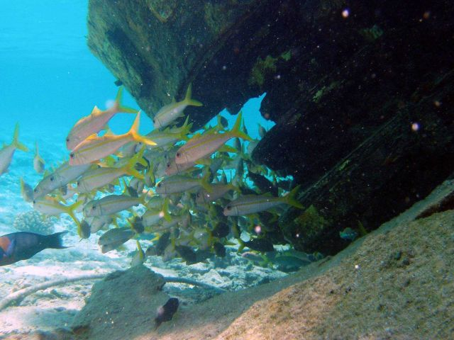Yellowfin goatfish Picture