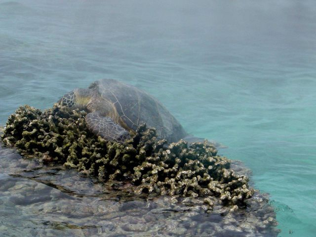 Green turtle (Chelonia mydas) hauling out on reef at Pearl and Hermes Reef. Picture